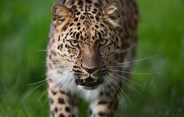 Picture mustache, look, face, background, Leopard, wild cat