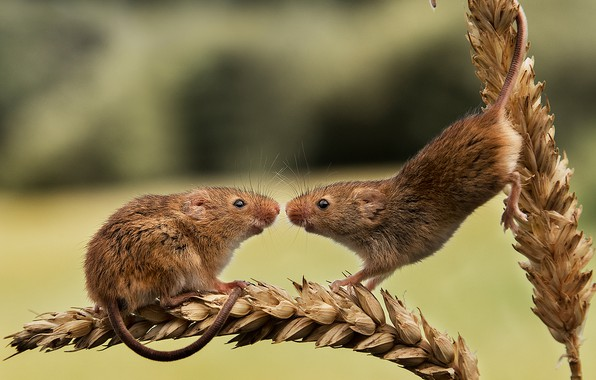 Picture pair, ears, rodents, Harvest Mouse, The mouse is tiny, two mice