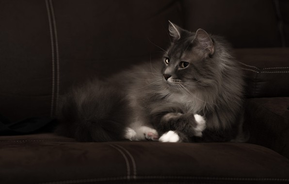 Picture cat, cat, look, face, the dark background, grey, sofa, fluffy, lies, Kote, handsome, smoky, white …