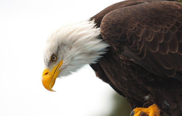 Picture eye, wildlife, bald eagle, beak, hunting