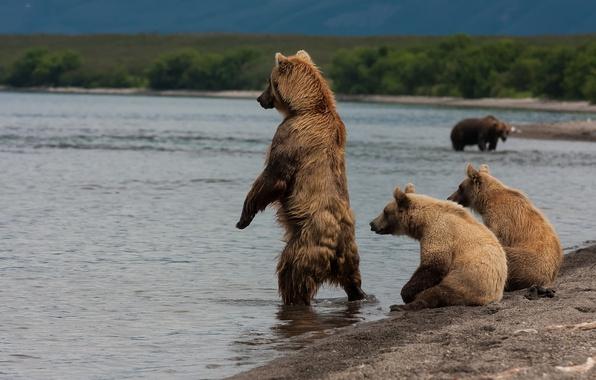 Picture shore, bears, Kamchatka, Kuril lake