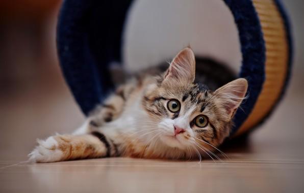 Picture cat, cat, look, muzzle, lies, on the floor, bokeh