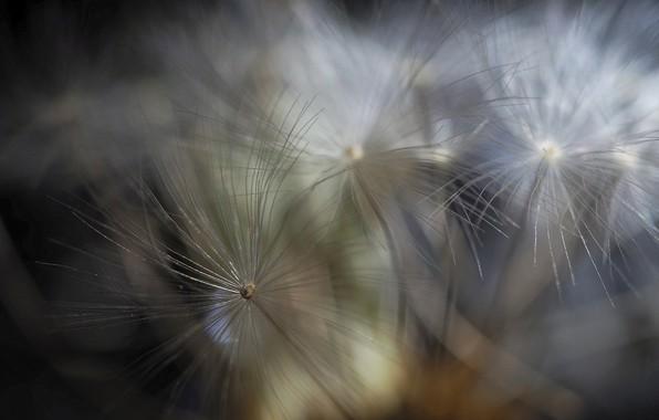 Picture flower, macro, nature, dandelion