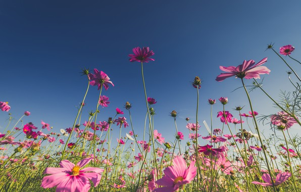 Picture field, summer, the sun, flowers, summer, pink, field, pink, flowers, cosmos