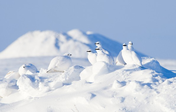 Picture winter, snow, birds, Arctic, partridge, The rock ptarmigan