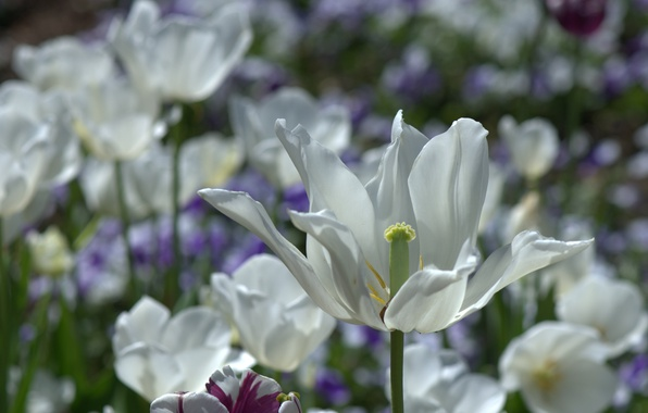 Picture petals, tulips, bokeh, white Tulip