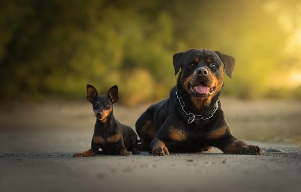 Picture dogs, Rottweiler, pair, bokeh, two dogs, Miniature Pinscher