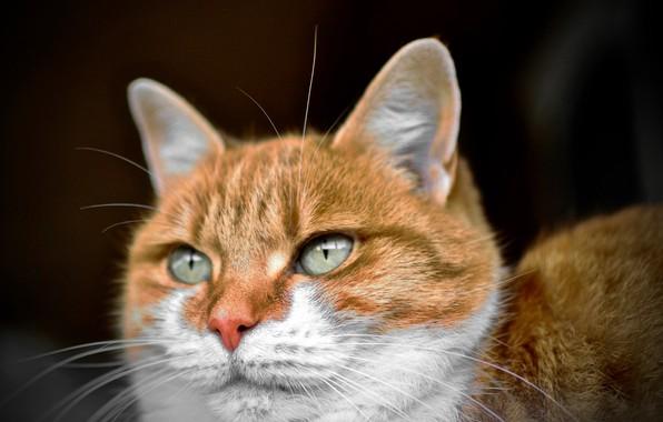 Picture green eyes, Cat, animal, fur, ears, whiskers, feline, snout, sneaky