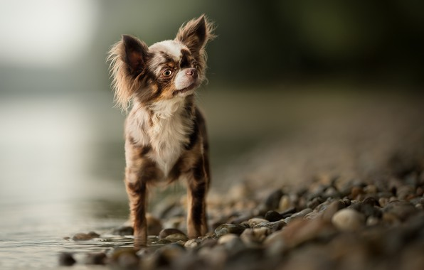 Picture water, bokeh, Chihuahua, dog