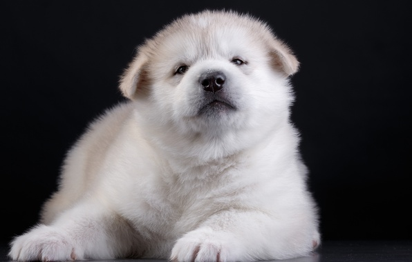 Picture puppy, funny, Akita