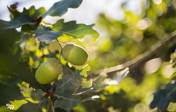 Picture leaves, the sun, light, close-up, glare, foliage, blur, branch, fruit, green, acorns