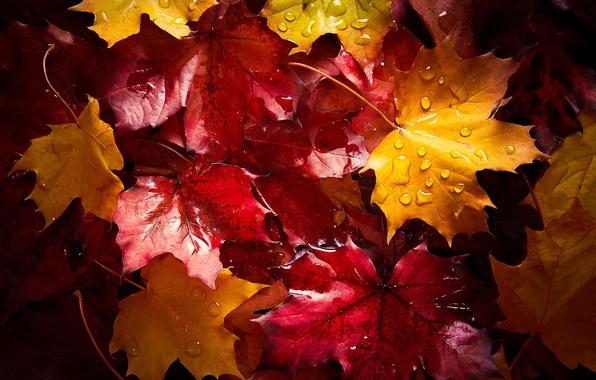 Picture wet, autumn, drops, macro, foliage, after the rain