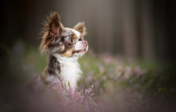 Picture look, portrait, face, Chihuahua, bokeh, doggie, Heather, dog