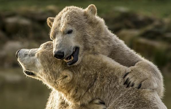 Picture bears, polar bears, hugs, polar bears, two bears