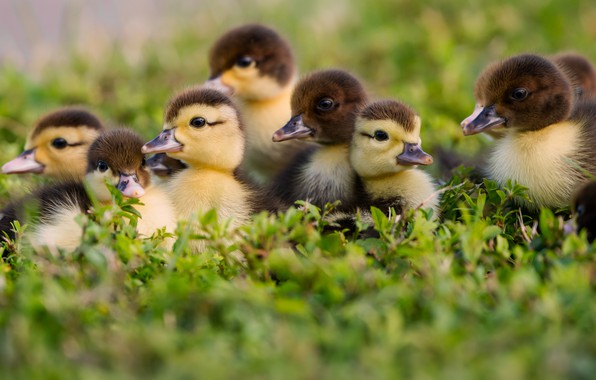 Picture grass, kids, ducklings, Chicks
