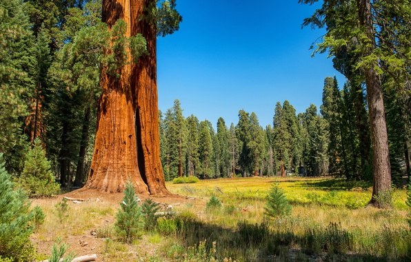 Photo wallpaper USA, forest, autumn, grass, the sun, Sequoia and Kings National Park, trees, the edge