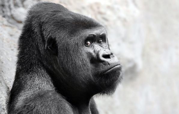 Picture look, monkey, gorilla