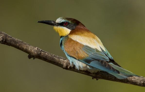 Picture birds, branch, European bee-eater