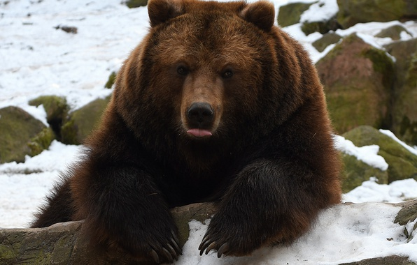 Picture language, face, paws, bear