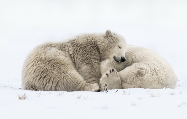 Picture snow, nature, bears
