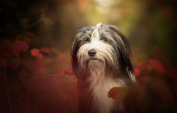 Picture look, face, portrait, dog, bokeh, doggie, Bearded collie