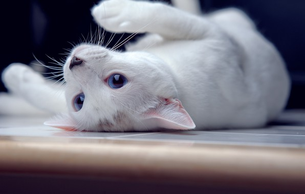 Picture cat, lies, blue eyes, by ONE-Photographie