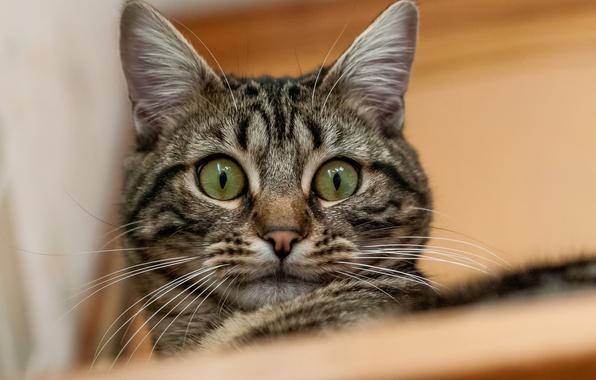 Picture cat, cat, look, portrait, kitty