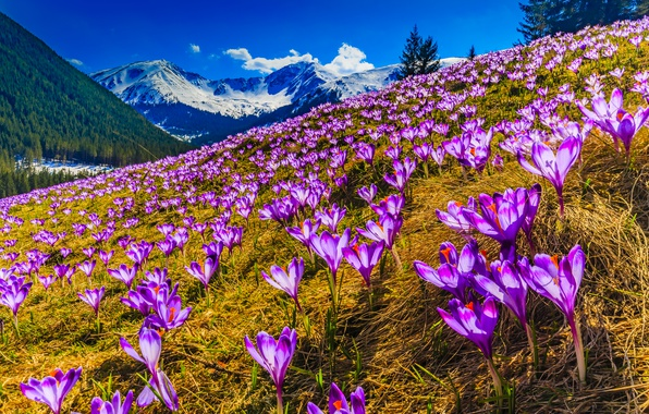 Picture forest, grass, the sun, snow, trees, mountains, spring, slope, purple, crocuses, lilac