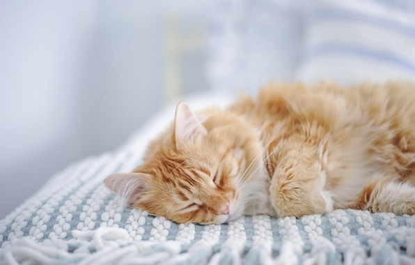 Picture cat, sleep, red cat, sleeping, Maine Coon