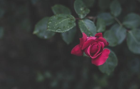 Picture leaves, drops, rose, petals, bokeh