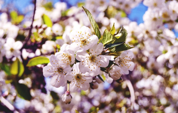 Picture macro, flowers, nature, cherry, spring, buds, branch, flowering