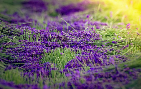 Picture flowers, lavender, sunlight, harvest