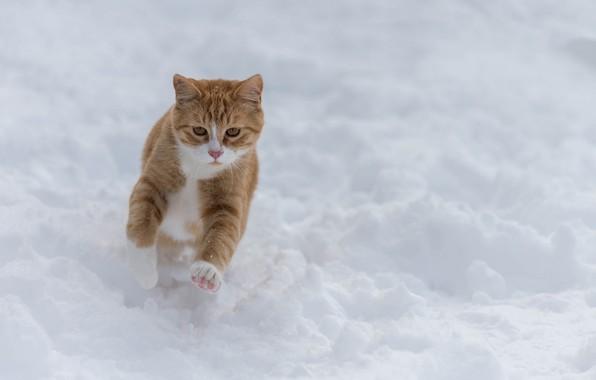 Photo wallpaper snow, red cat, winter, walk, cat, run