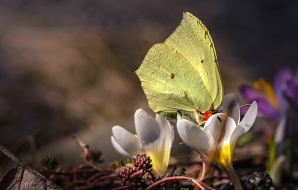 Picture flowers, butterfly, spring, bokeh, Crocuses, flies, Brimstones, The limonite, Saffron