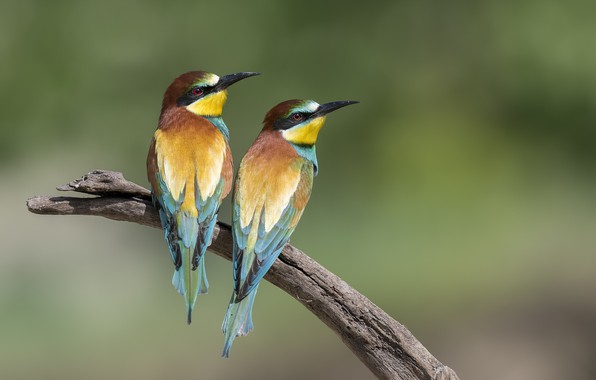 Picture birds, a couple, bee-eaters