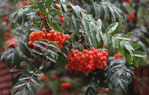 Picture autumn, drops, macro, berries, rain, branch, Rowan