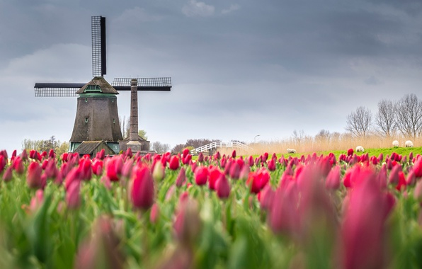 Picture field, flowers, spring, tulips, Netherlands