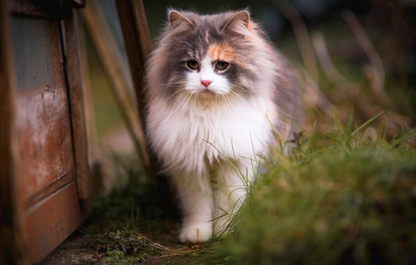 Picture cat, grass, cat, look, kitty, background, Board, portrait, blur, spring, muzzle, yard, walk, beauty, kitty, ...