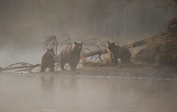 Picture river, tree, morning, bears, bears, bear, morning mist, the three bears