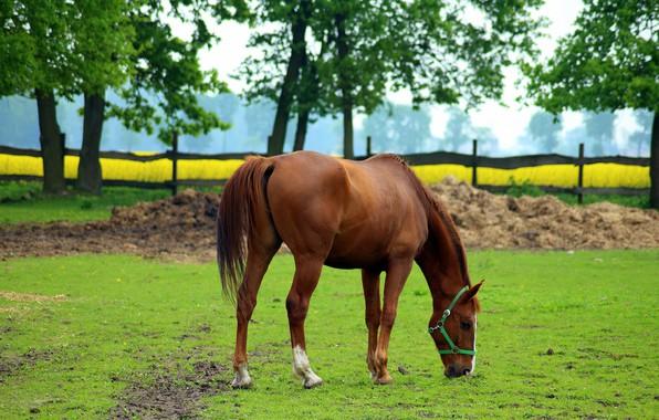 Wallpaper Horse, Chestnut, Horse, Grazing, Summer Images
