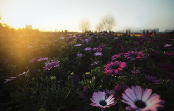 Picture field, flowers, morning