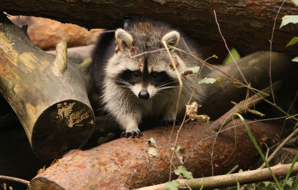 Picture forest, trees, nature, blur, raccoon, animals, nature, bokeh, cute, travel, wallpaper., raccoon, my planet, size …