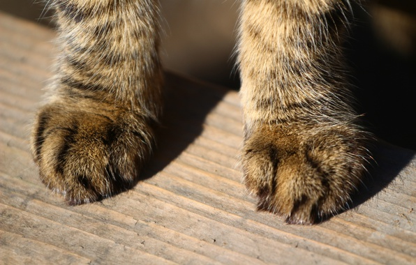 Picture cat, paws, wool, Board