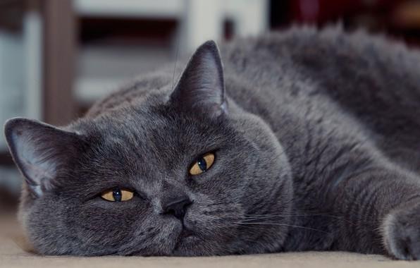 Picture cat, look, muzzle, Kote, kotofey, British Shorthair