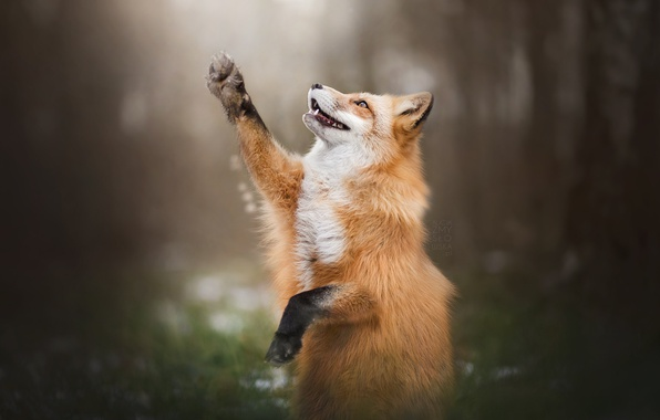 Photo wallpaper Fox, forest, Fox, paw, pose