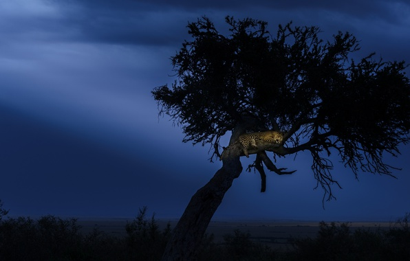 Picture night, tree, the evening, leopard, Africa