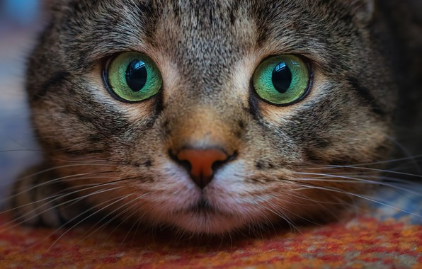 Picture cat, look, muzzle, Kote, eyes, cat