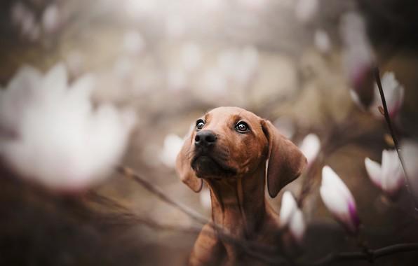 Photo wallpaper dog, face, bokeh, doggie, Magnolia, Dachshund