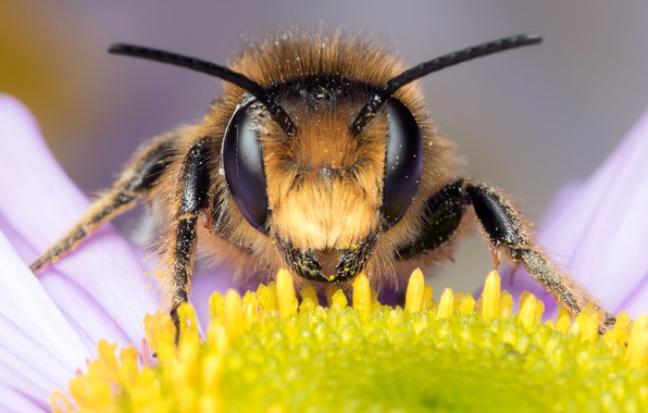 Picture flower, eyes, macro, bee, background, pollen, petals, Daisy, muzzle, insect, antennae