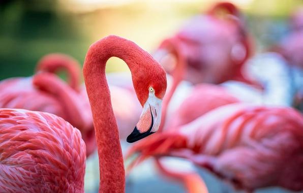 Picture bird, feathers, beak, color, Flamingo